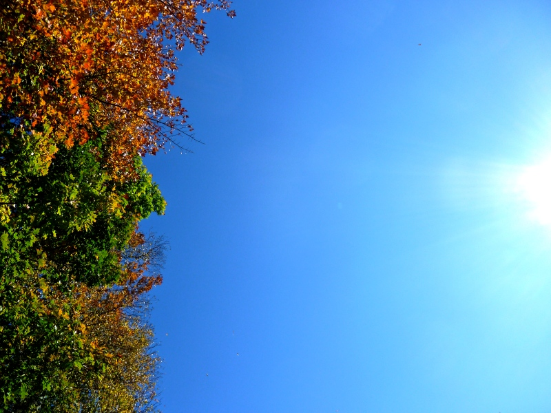 Autumn colours, Ontario, looking up at leaves and blue sky
