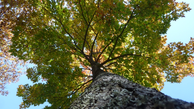 View looking up at colourful fall autumn tree from trunk