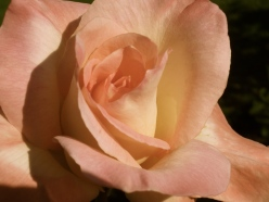 Close up of pink rose in Victoria