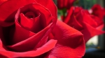 Brilliant red roses, close up