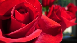 Brilliant red roses, close up
