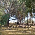 Kangaroos grazing in wild, Canberra, Austrlalia