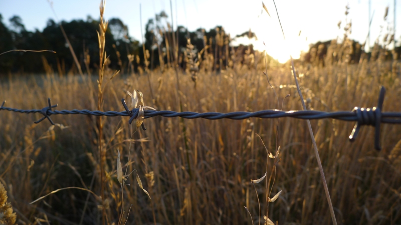 Tall Australian grass, barbed wire fence, sunset