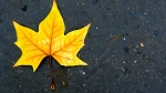 Gold maple leaf on pavement