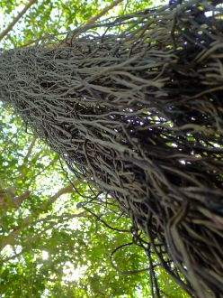 Looking up at a Banyan tree, Mexico