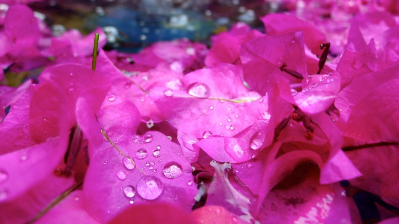 Pink petals in pond, water droplets